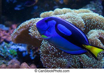 eksotiske, fish, akvariet