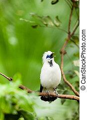 eksotiske, hvid, synge fugl, branch