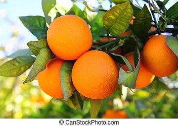 elágazik, narancsfa, gyümölcs, zöld kilépő, alatt,...