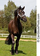 elülső, ló