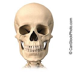 elülső, nézet., koponya, emberi