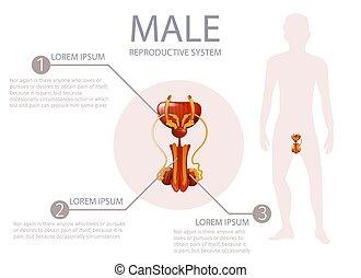 előbbi, külső nemi szervek, fontos, ember, components.