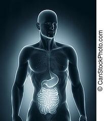 előbbi, rendszer, anatómia, emésztő, hím, kilátás