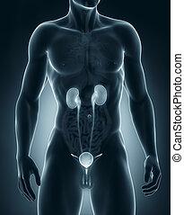 előbbi, vizelési, rendszer, anatómia, hím, kilátás