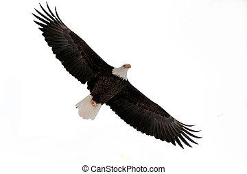 el, águila calva, (haliaeetus, leucocephalus)
