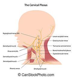 el, cervical, plexo, eps10