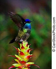 el, colibrí, en, movement.