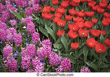 el, colorido, arriate, con, tulipanes, jacintos, y, narcisos