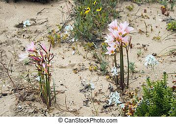 el, fleurs, phénomène, ananuca, désert, desierto, florido),...