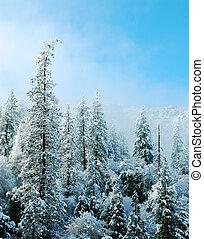 el, la nieve cubrió árboles, en, yosemite, bosque nacional