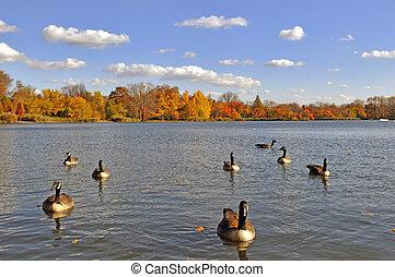el, lago, en el parque, con, gansos