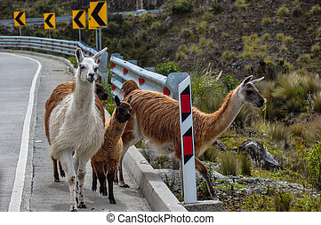 el, lamas, 家族, 国立公園, cajas, エクアドル