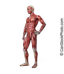 el, macho, sistema muscular