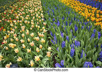 el, multicolor, campos, de, narcisos, tulipanes, y, jacintos, en, holanda