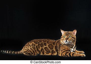 el, oro, bengala, gato, en, fondo negro