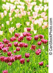 el, rosa, y, blanco, tulipanes