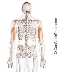 el, tríceps