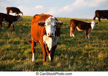 el, vacas
