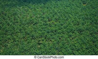 Elaeis guineensis palms - African oil palm or macaw-fat....