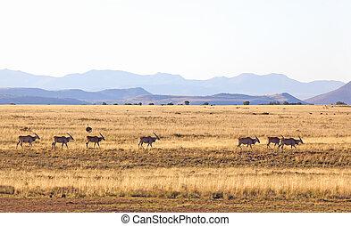 eland, troupeau