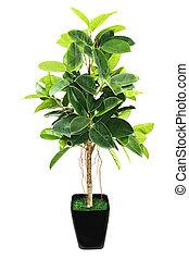 elastica, flowerpot, bush), borracha, experiência., pretas, (indian, branca, ficus