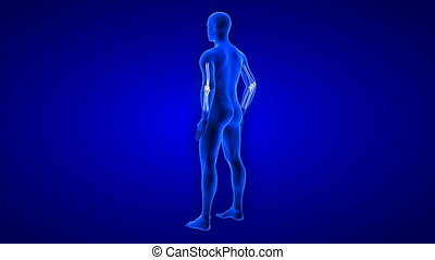 Elbow Pain animation from rear view. Blue Human Anatomy Body...