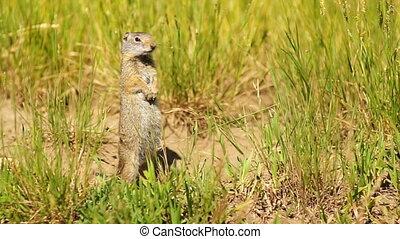 Elch, essende, national, Wyoming, hund, prärie, Jackson,...