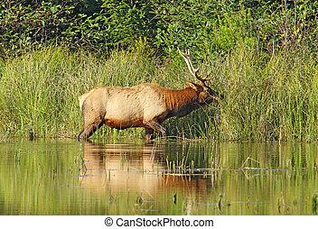 elch, stier, oder, flüßchen, canadensis, gräser, brausen,...
