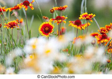 eld, blomningen, maskroser, natur