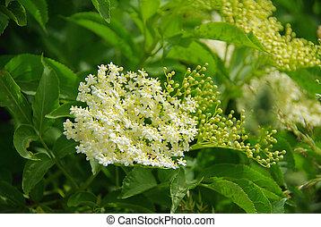 elder flower 01