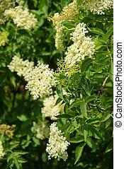 elder flower 10