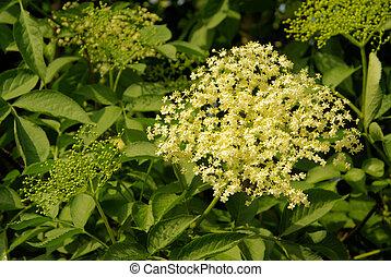 elder flower 14
