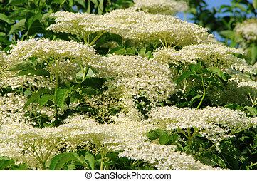 elder flower 15