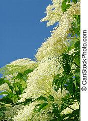 elder flower 17