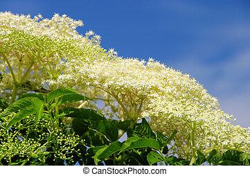 elder flower 20