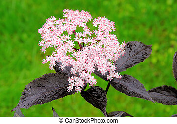 elder flower 21