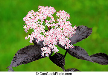 elder flower 22