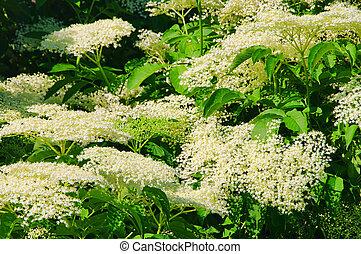 elder flower 23