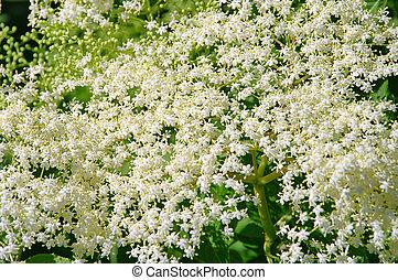 elder flower 31