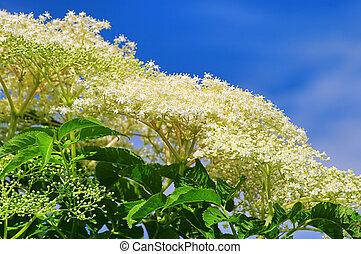 elder flower 32
