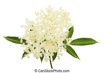 Elder flower and leaves isolated against white