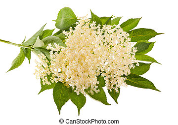 Elder flowers isolated on white