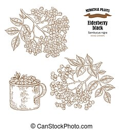 Elderberry black common names sambucus nigra. Hand drawn elder branch with flowers and leaves vector illustration isolated on white background.