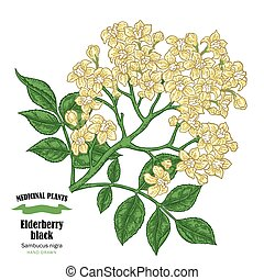 Elderberry black, sambucus. Hand drawn elder branch with flowers vector illustration isolated on white background.