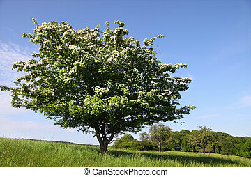 Elderberry tree in orchard in summer time, Germany
