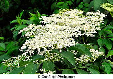 Elderflower - Bloomy elderberry (Sambucus)