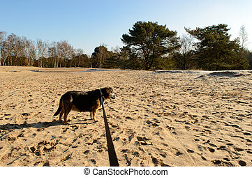 Elderly black dog enjoying a walk in the country