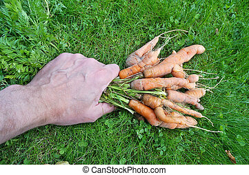 Elderly farmer grandfather raises his hand from the grass bunch of ugly curve of the wrong carrot