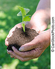 Elderly female hands holding soil with green sprout