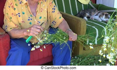 elderly herbalist woman gather medical herb camomile...